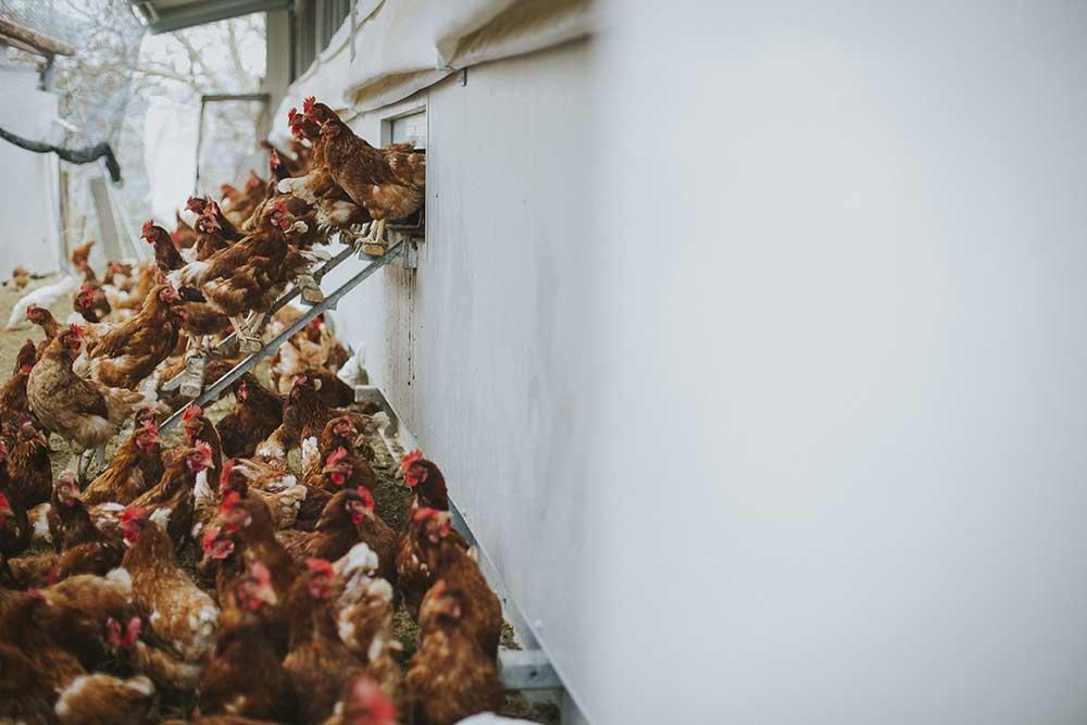 L'allevamento delle galline tradizionali - Foto di Melissa Iannace